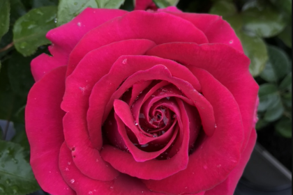 rose plants fro sale