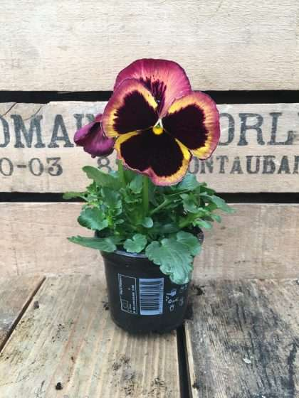 Pansy Flame