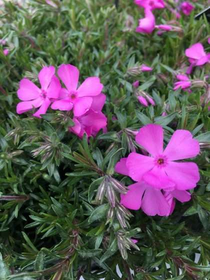 Large Alpine Phlox