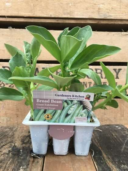 Giant Exhibition Broad Bean Plants (6 pack)