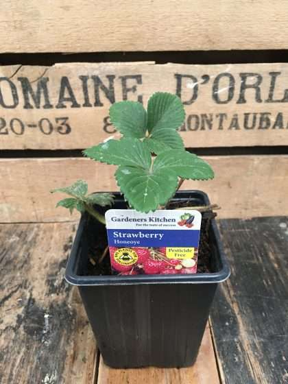 Honeoye Strawberry Plant