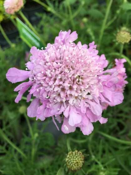 Pincushion Flower (Scabiosa Pink Mist)
