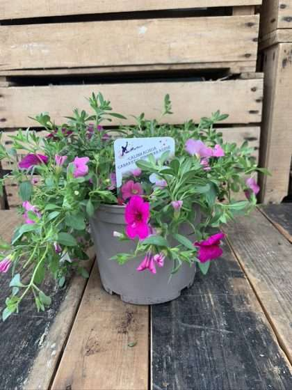 Instant Pink Shades Patio Pot